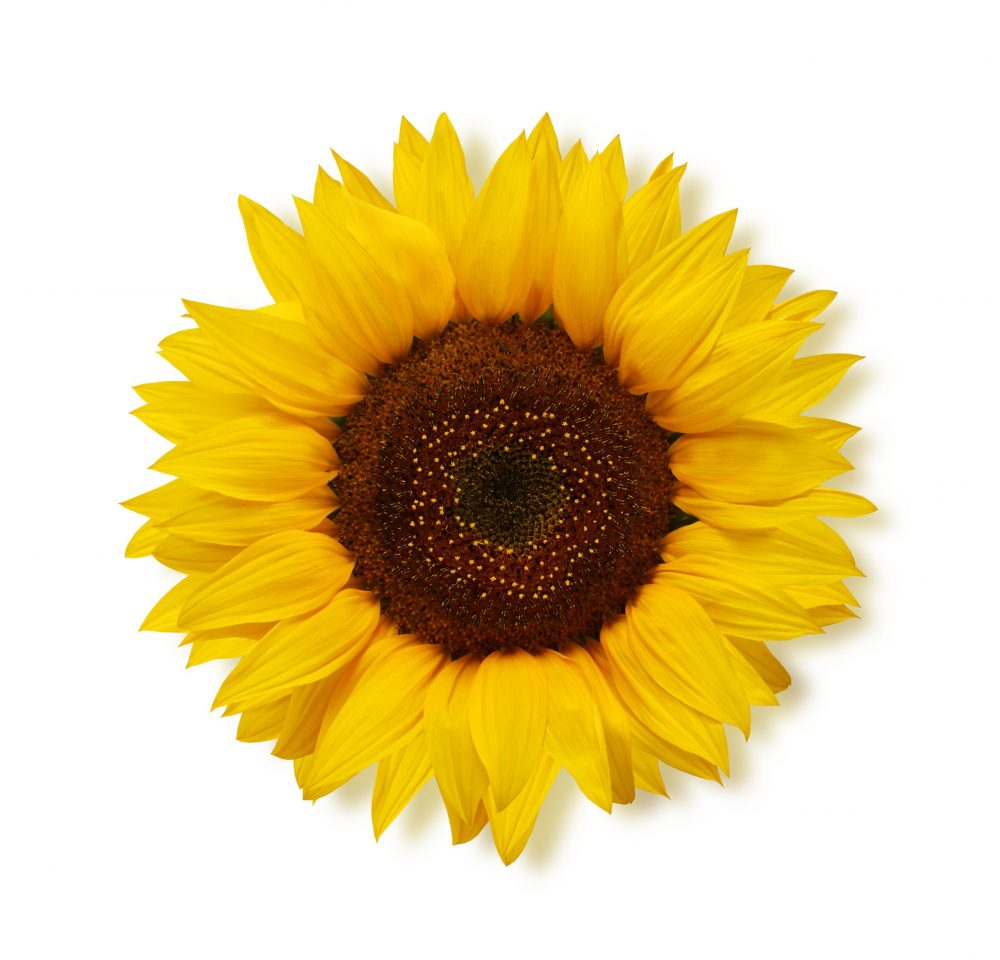 Ripe sunflower with yellow petals and dark middle, isolated on white background, top view. Seeds.