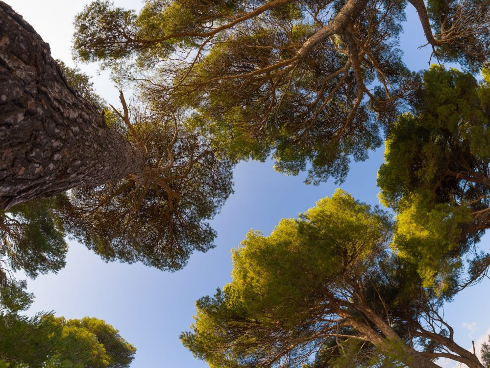 Maritime pine grove on the oastline of Liguria, Italy. Clear blue sky in the background.
